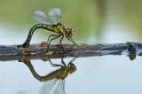 D4S_1161F glassnijder (Brachytron pratense, Hairy Dragonfly).jpg