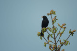 D4S_7000F merel (Turdus merula, common blackbird).jpg