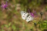 D4S_3384F moezelapollo (Parnassius apollo ssp. vinegensis).jpg