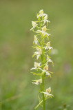 D4S_2540F bergnachtorchis (Platanthera chlorantha, Greater butterfly-orchid).jpg
