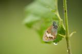 D4S_2175F tweekleurig hooibeestje (Coenonympha arcania, Pearly Heath).jpg