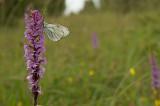 D4S_2495F groot geaderd witje (Aporia crataegi, Large veined white) op muggenorchis (Gymnadenia).jpg