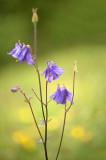 D4S_2430F wilde akelei (Aquilegia vulgaris, European columbine).jpg
