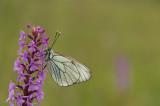 D4S_2491F groot geaderd witje (Aporia crataegi, Large veined white) op muggenorchis (Gymnadenia).jpg