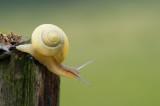 D4S_2697F witgerande tuinslak (Cepea hortensis, White-lipped snail).jpg
