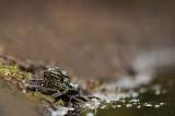 D4S_4492F meerkikker (Pelophylax ridibundus, Marsh frog).jpg