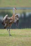 D4S_8343F Canadese kraanvogel (Grus canadensis, Sandhill crane).jpg