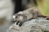 D4S_6919F grijze marmot (Marmota caligata, Hoary marmot).jpg