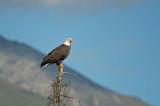 D4S_6355F Amerikaanse zeearend (Haliaeetus leucocephalus, Bald Eagle).jpg