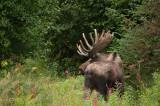 D4S_8417F eland (Alces alces, Moose).jpg