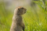 D4S_5693F arctische grondeekhoorn (Spermophilus parryii, Arctic ground syuirrel).jpg