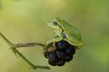 D4S_8708F boomkikker (Hyla arborea, European Treefrog).jpg