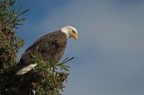 D4S_6453F Amerikaanse zeearend (Haliaeetus leucocephalus, Bald Eagle).jpg