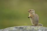 D4S_6648F arctische grondeekhoorn (Spermophilus parryii, Arctic ground syuirrel).jpg