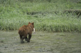 D4S_6708F grizzlybeer (Ursus arctos, Grizzly bear).jpg