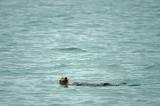 D4S_6982F zeeotter (Enhydra lutris kenyoni, Sea otter).jpg