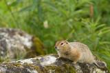 D4S_7927F arctische grondeekhoorn (Spermophilus parryii, Arctic ground syuirrel).jpg