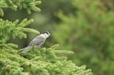 D4S_8064F Canadese taigagaai (Perisoreus canadensis, Gray jay).jpg