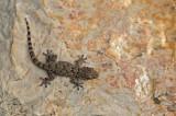 D4S_0109F muurgekko (Tarentola mauritanica, European common gecko).jpg
