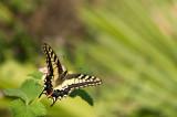 D4S_0270F koninginnenpage (Papilio machaon, Old World swallowtail).jpg