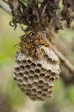 D4S_0474F Franse veldwesp (Polistes dominula, European paper wasp).jpg