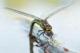 D4S_1201F glassnijder (Brachytron pratense, Hairy Dragonfly).jpg
