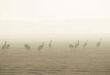 D4S_3040F kraanvogel (Grus grus, Common crane).jpg