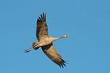 D4S_3629F kraanvogel (Grus grus, Common crane).jpg