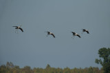 D4S_3422F kraanvogel (Grus grus, Common crane).jpg