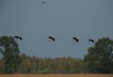 D4S_3423F kraanvogel (Grus grus, Common crane).jpg