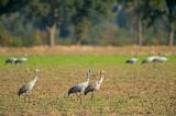 D4S_3181F kraanvogel (Grus grus, Common crane).jpg