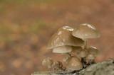 D4S_3970F porseleinzwam (Oudemansiella mucida, Porcelain Fungus).jpg