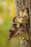 D4S_5581F gewone oesterzwam (Pleurotus ostreatus, Oyster mushroom).jpg