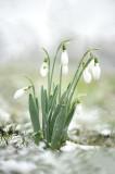 D4S_1540F gewoon sneeuwklokje (Galanthus nivalis, Common snowdrop).jpg