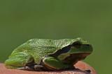 DSC00994F boomkikker (Hyla arborea, European Treefrog).jpg