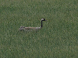 DSC01704F kraanvogel (Grus grus, Common crane).jpg