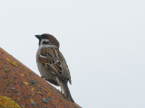 DSC01641F ringmus (Passer montanus, Tree Sparrow).jpg