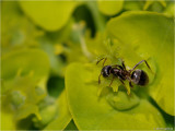 miertje op paarbladig goudveil _ ant on Chrysosplenium oppositifolium