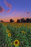 Evening in the Sunflower Field