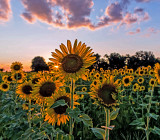 Sunflowers in the Setting Sun