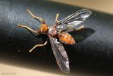 Waved Light Fly Pyrgota undata
