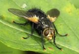 Tachnid Fly genera Tachina