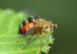Tachnid Fly Hystricia abrupta