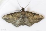 Gem Moth Orthonama obstipata #7414 male