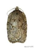 Lesser Maple Leafroller Moth Acleris chalybeana #3539