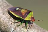 Stinkbug - Banasa dimidiata