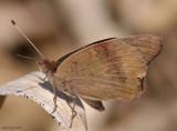 Common Buckeye - Junonia coenia