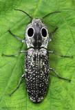 Eyed Elater Alaus oculatus