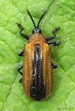 Locust Leaf Miner Beetle Odontota dorsalis