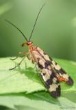 Common Scorpionfly Panorpa galeri